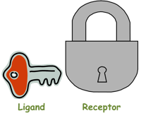 Ligand Receptor